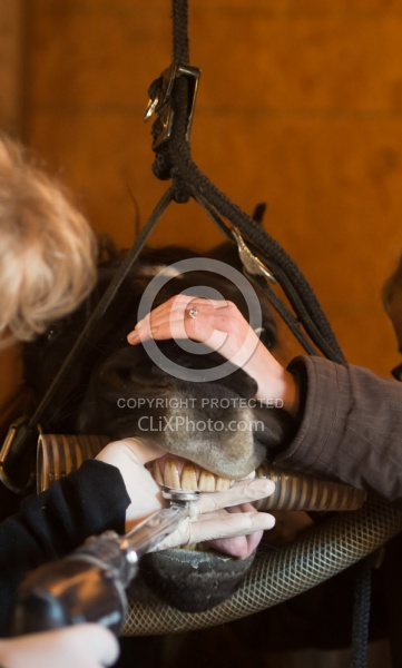 Equine Dentistry - Teeth Flaoting