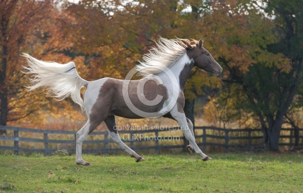 Spotted Saddle Horse Free Running Horizontal Bonnie View Farms Spotted Saddle Horse Free Running