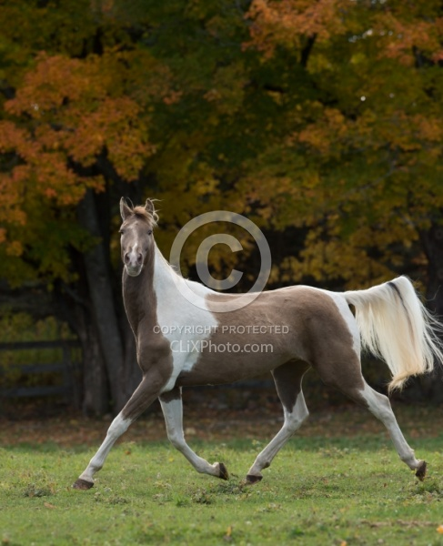 Spotted Saddle Horse Free Running Horizontal Spotted Saddle Horse Free Running