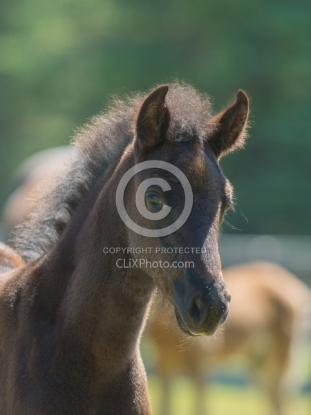 Rocky Mountain Foal Portrait