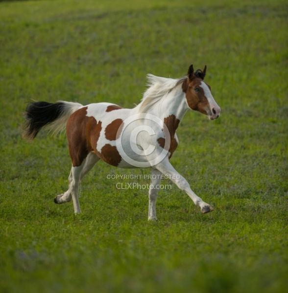 Canadian Warmblood Free Running