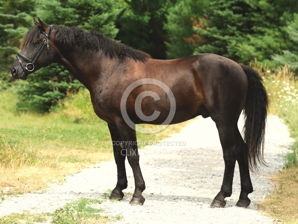 Curly Horse Stallion  Conformation