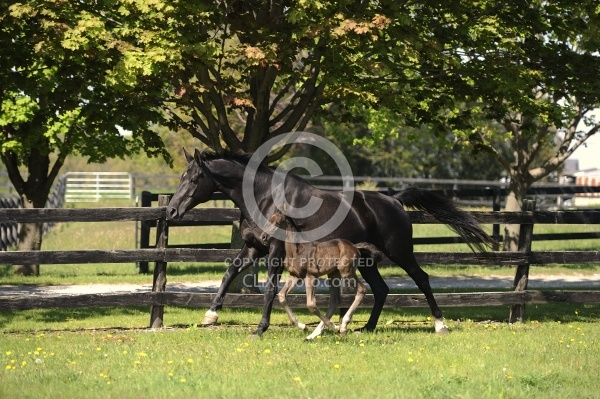 Hanoverian Mare and Foal