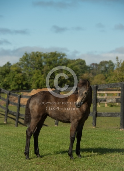 Connemara Filly Conformation, Century Hill's Hazy Pearl